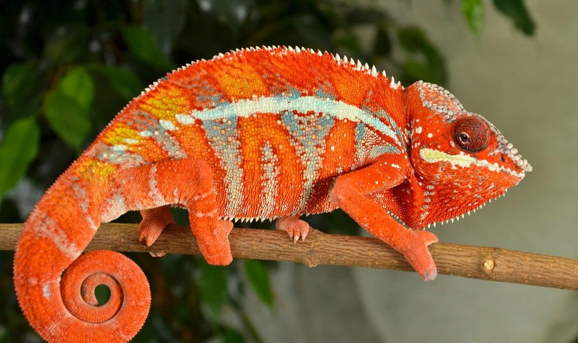 Resultado de imagen de camaleon pantera