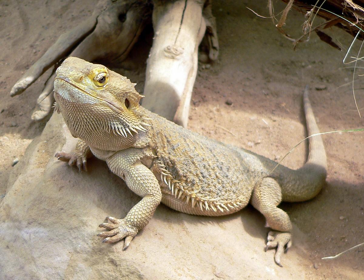 Dragón barbudo - Animales. Mascotas. | Mercafauna