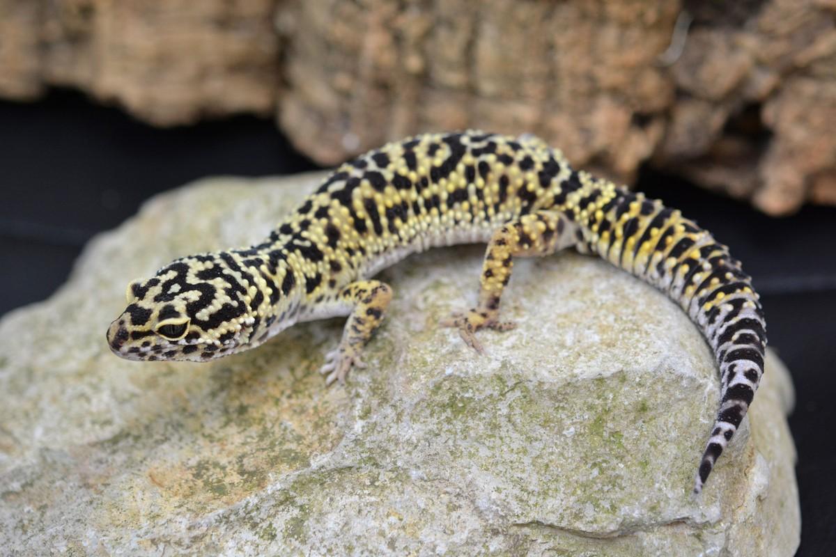Gecko Leopardo Colombia - Best Leopard 2017