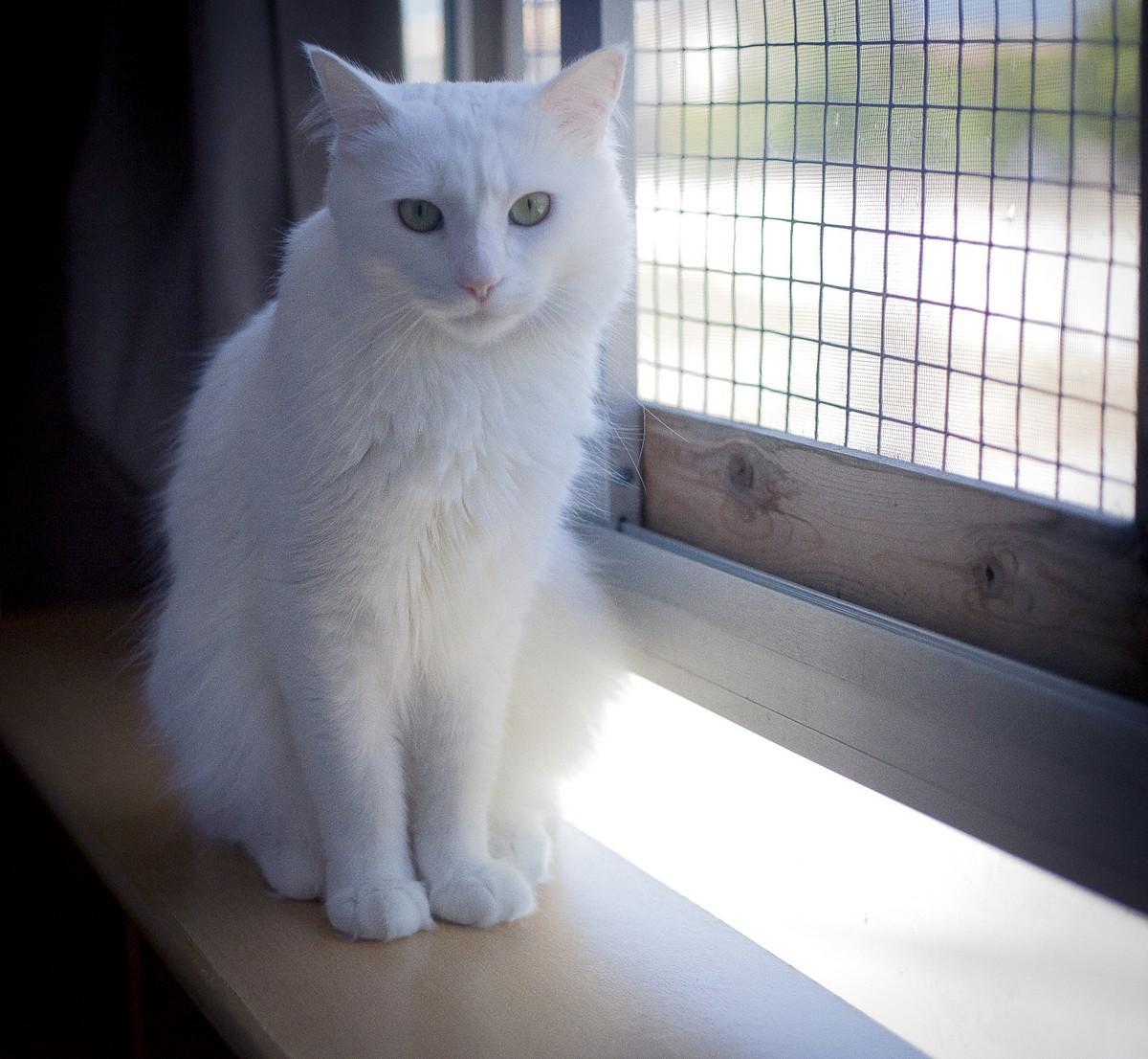 Fotos de gatos de angora 12