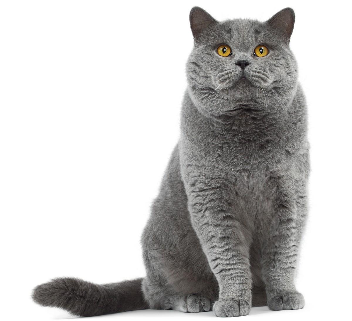 Gato British Shorthair Animales Mascotas Mercafauna