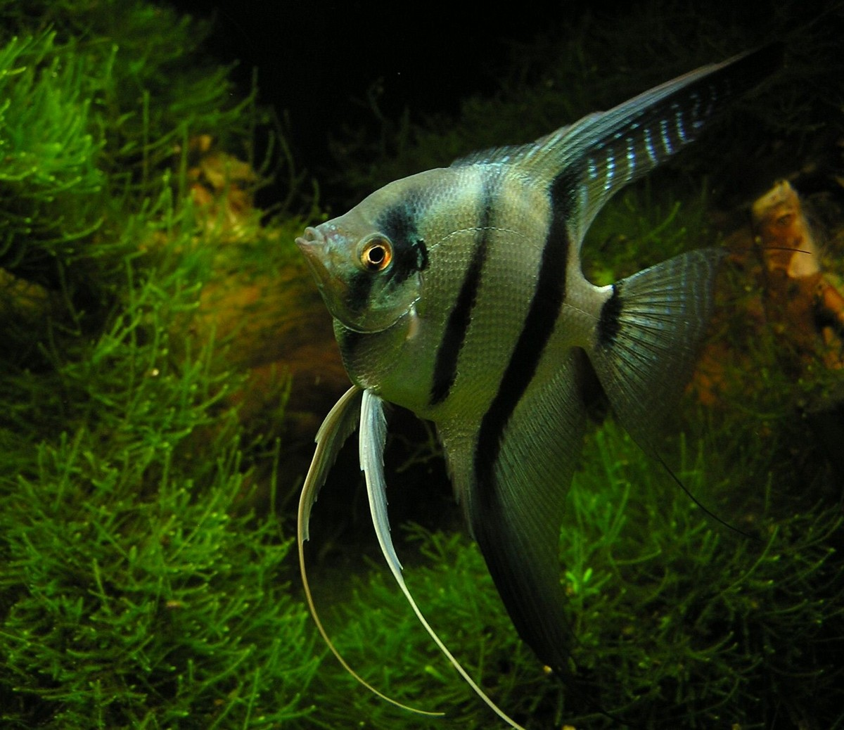 Escalar o pez ngel animales mascotas mercafauna for Pez escalar enfermedades