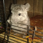 venta de Chinchillas