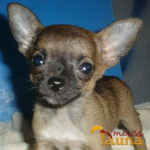 Informar sobre anuncio abusivo vendo chihuahua miniatura for Vendo chihuahua barcelona