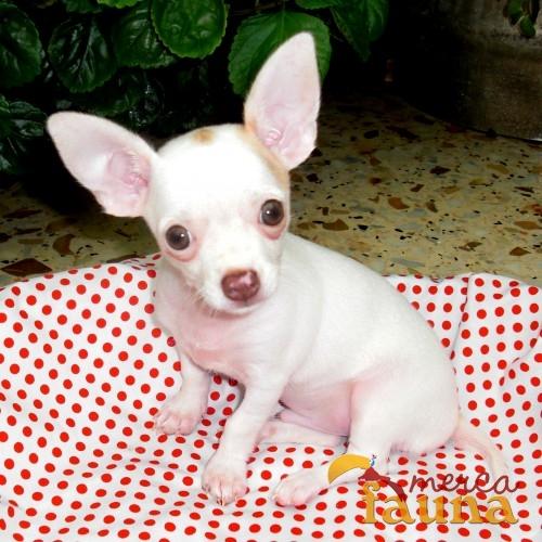 Contartar con anuncio vendo chihuahua mercafauna for Vendo chihuahua barcelona