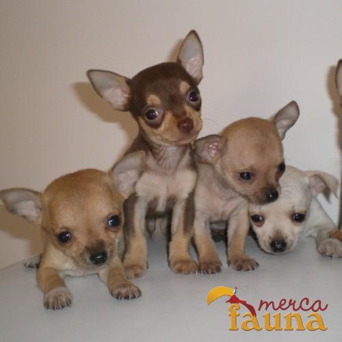 Informar sobre anuncio abusivo vendo chihuahuas miniatura for Vendo chihuahua barcelona