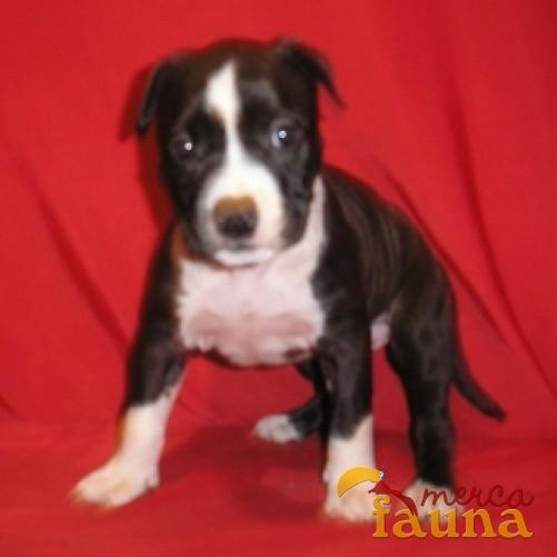Pitbull stanford cachorros 3 meses - Imagui