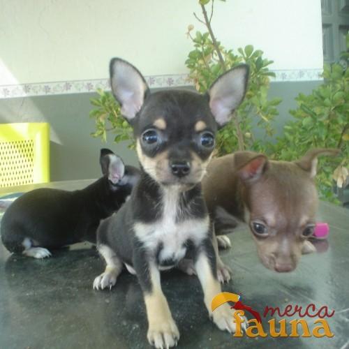 Informar sobre anuncio abusivo vendo chihuahua for Vendo chihuahua barcelona