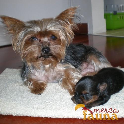 Vendo Cria Macho De Yorkshire Terrier Toy Mercafauna Compraventa