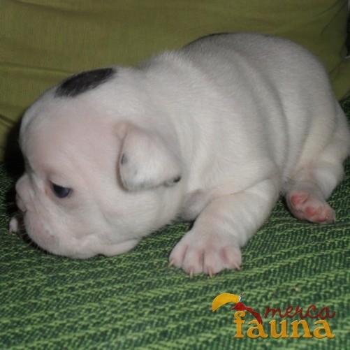 Vendo bulldog frances blanco precioso - Mercafauna - Compraventa de ...