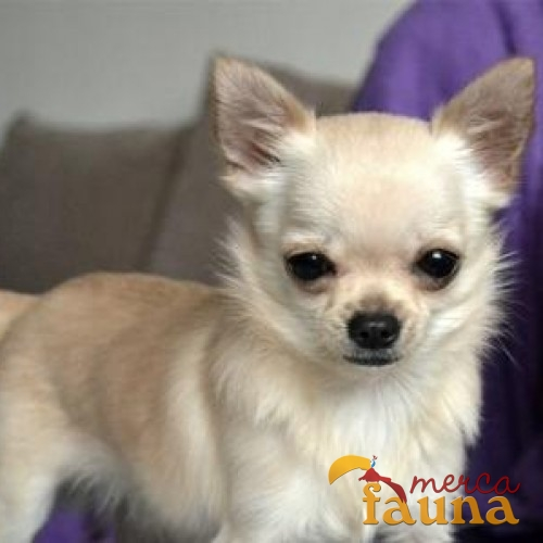 Vendo chihuahua mercafauna compraventa de animales for Vendo chihuahua barcelona