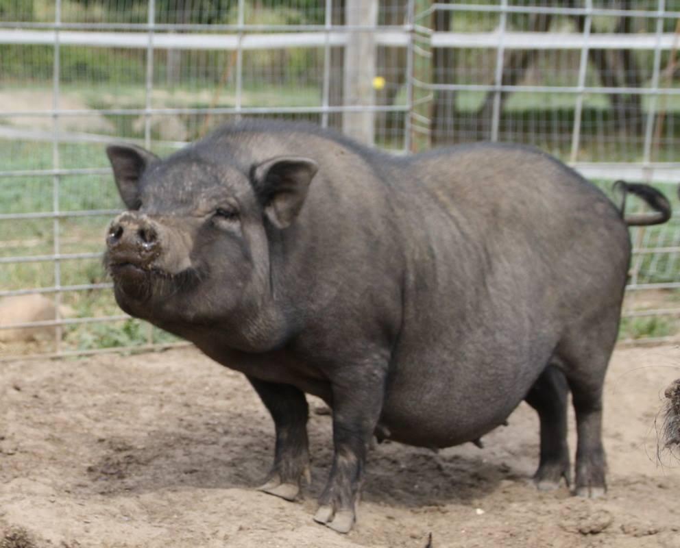 Cerdo Mini Pig Animales Mascotas Mercafauna