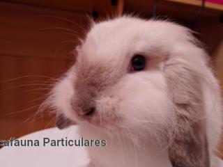Conejo belier y minilpos y jaula con accesorio