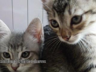 Regalamos Gatitos pequeños  en Porto Colom/ Islas Baleares