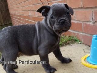 Bulldog Francês  Linhagem Top Disponiveis Pretos