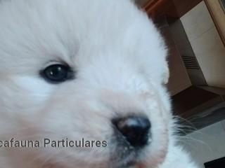 Cachorros Samoyedo