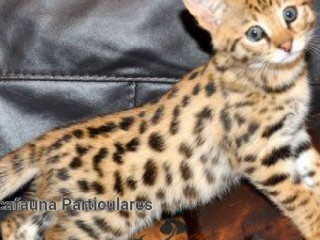 Serval y Savannah, gatitos caracal y ocelote disponibles