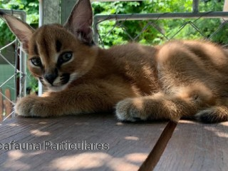Serval y Savannah, gatitos caracal disponibles